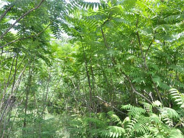 火炬树种植基地-尧山绿淼苗木专注火炬树批发