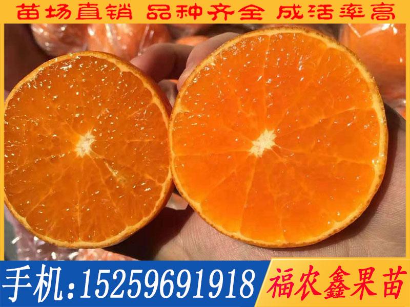 漳州爱媛柑橘苗批发价格 爱媛柑橘苗厂商出售