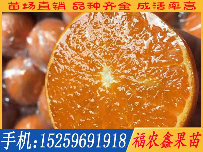 爱媛28柑橘苗