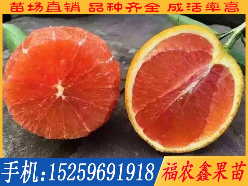 番石榴苗价格如何,血橙苗找福农鑫果苗_品种优良