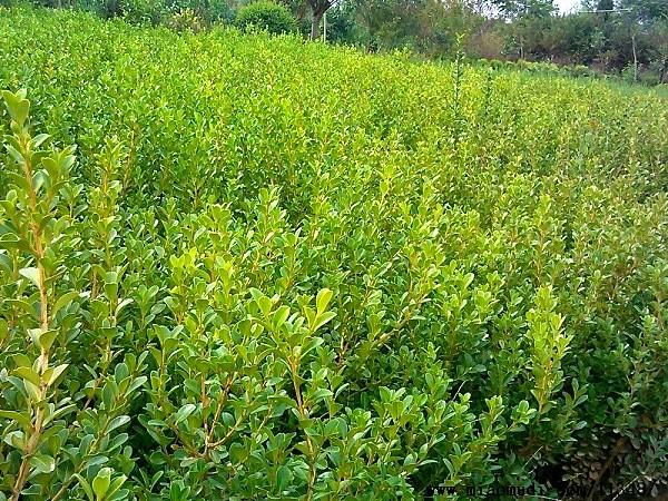 瓜子黄杨营养杯苗-想要优惠的瓜子黄杨就来红艳艳苗木
