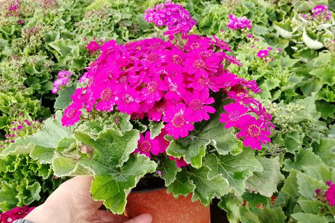 冬季花卉//耐寒花卉