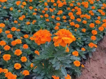 甘肃孔雀草|卉源花卉苗木专业供应孔雀草