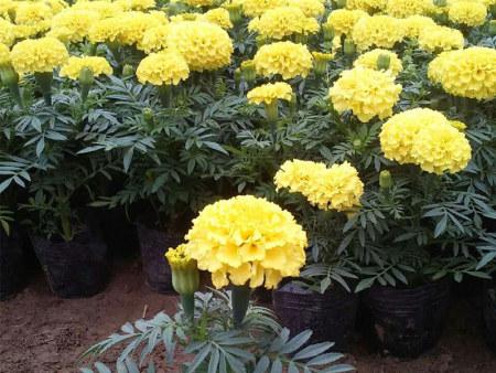 2019~万寿菊培育基地|四川万寿菊种植——青州卉源