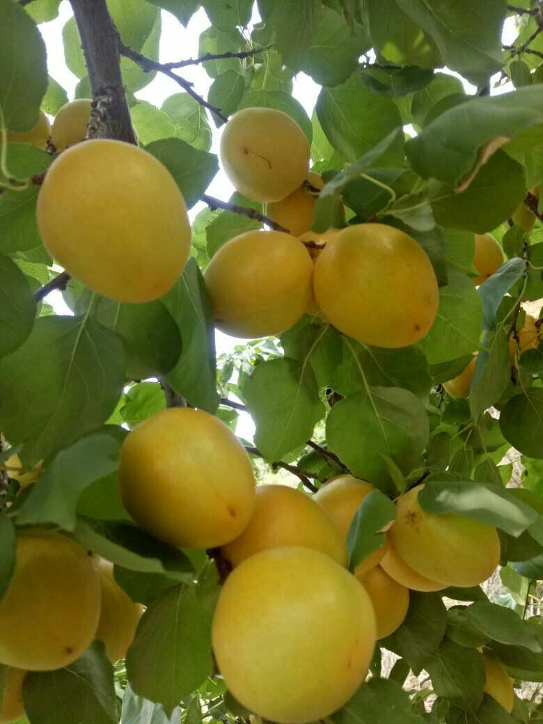 【牙夼果业】香蜜杏树苗 香蜜杏树苗批发 香蜜杏树苗厂家