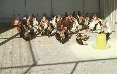 【看见我就是缘分!】山东观赏鸡苗!潍坊观赏鸡苗!纪元