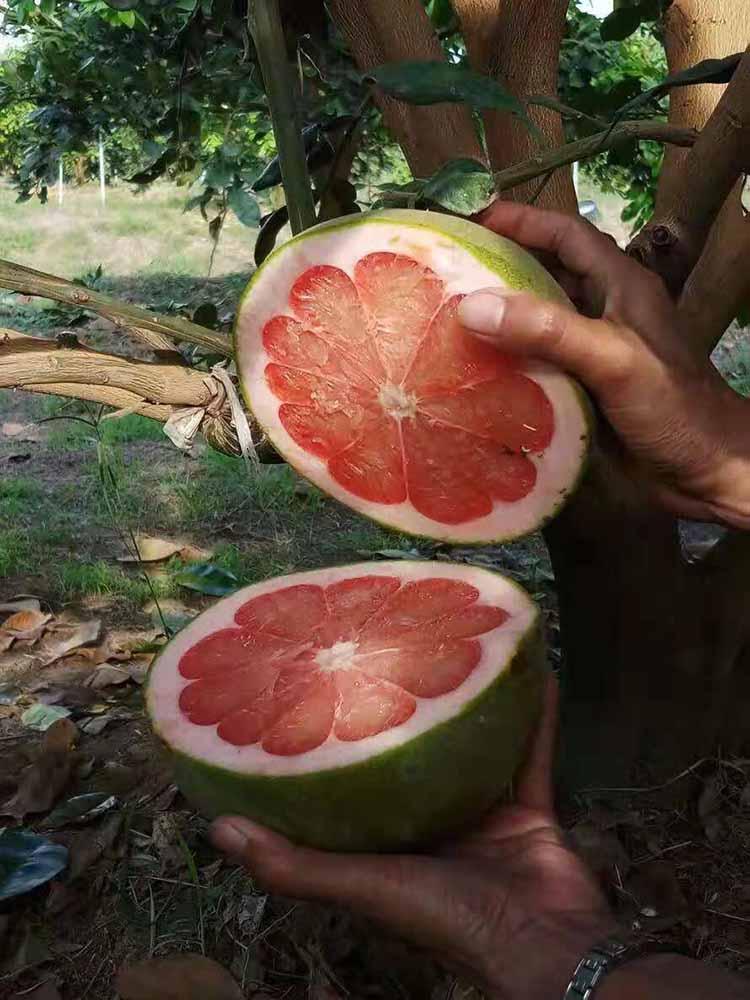 想要优惠的泰国青柚苗就来福农鑫果苗 泰国青柚苗品种种植基地