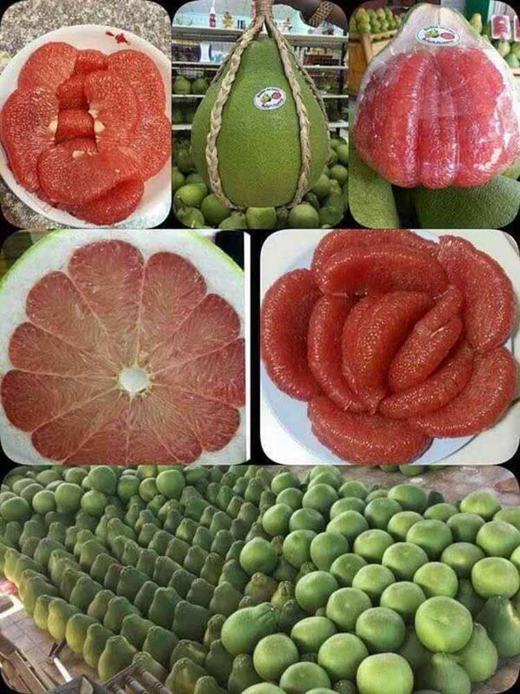 供应福建销量好的泰国青柚苗 泰国青柚苗价格范围