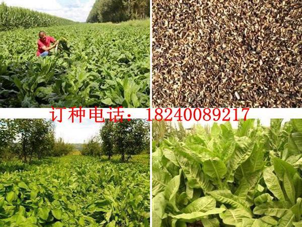 苜蓿种子哪里有与苜蓿种子多少钱一斤
