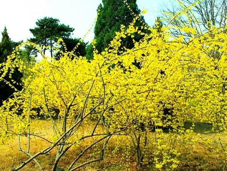 【暖心了老铁】盆栽迎春多少钱,盆栽迎春出售