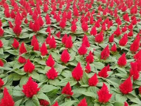 山東雞冠花種植基地-山東省優良的雞冠花生產基地