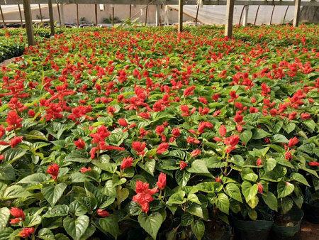 河北一串红_轩正花卉苗木价格实惠的一串红供应