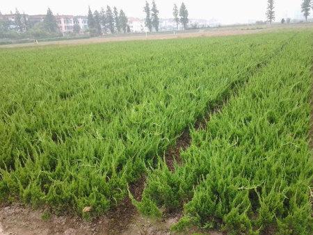 这儿的苗儿好小龙柏种苗,小龙柏供应商,小龙柏培育基地