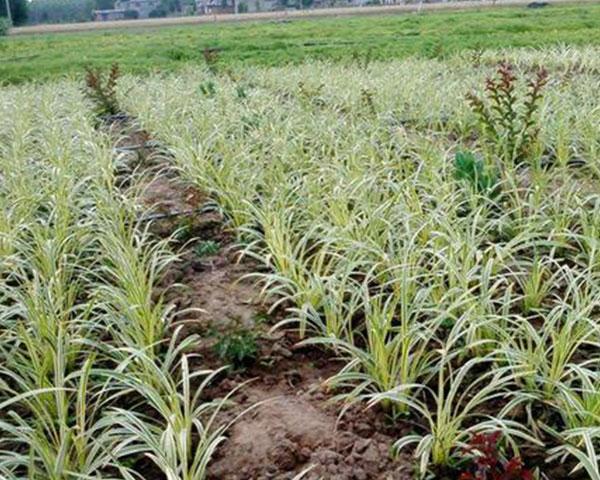 矮麦冬小苗//矮麦冬种植基地
