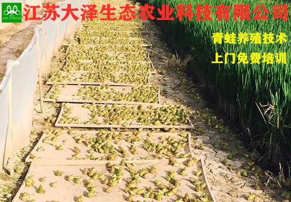 稻蛙共养技江苏哪里有免费培训【江苏大泽】宿迁青蛙养殖