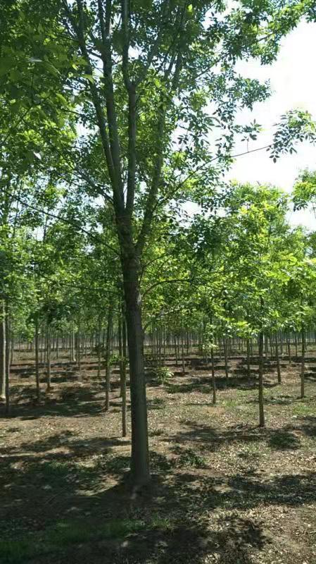 白蜡树的价格-品种好的白蜡推荐