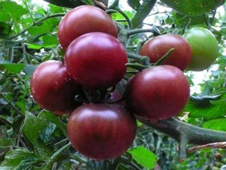 紫番茄价格-规模较大的紫番茄生产公司