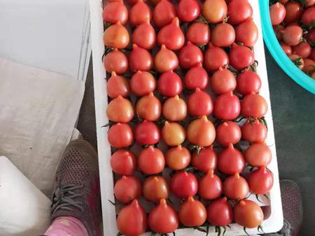 玲瓏紅櫻桃西紅柿《玲瓏紅櫻桃西紅柿銷售》商超對接--雅各蔬菜