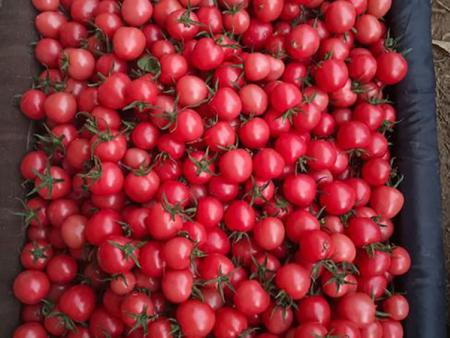 黑布樱桃番茄供应商-去哪找声誉好的樱桃番茄供应商