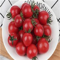 樱桃西红柿批发-潍坊地区哪里有卖优良樱桃西红柿