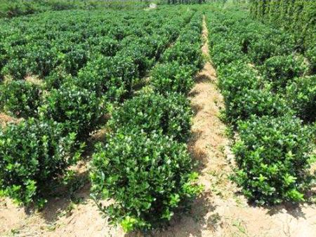 绿化用冬青球,冬青球种植基地,冬青球基地