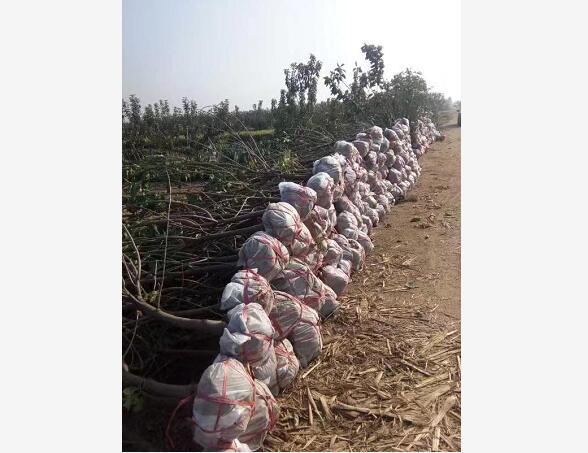 要买大樱桃苗就到绿丰大樱桃,大樱桃幼树批发