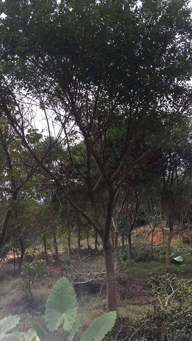 紅皮榕多少錢-想要成活率高的紅皮榕就來可購園藝