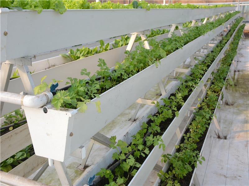 山西漏窗式栽培-山東專業的平鋪式水培生產基地