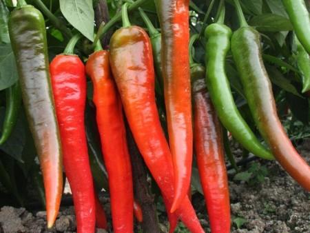 貴州綠線椒-哪里能買到放心的綠線椒