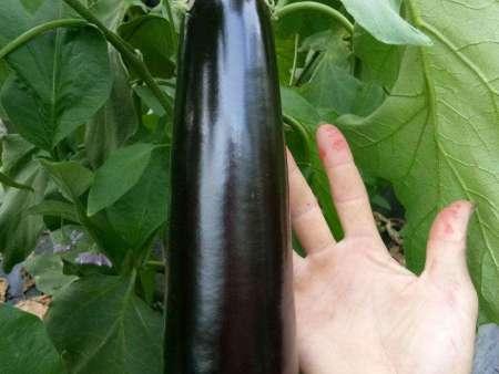 茄子商超对接-河北茄子多少钱-河北茄子求购