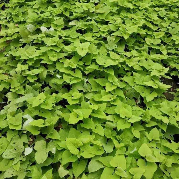種植金葉薯|口碑好的金葉薯就在德勇花卉苗木