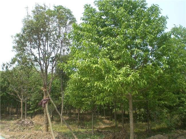 黄金槐_想要品质好的绿化苗木就来敏达苗木