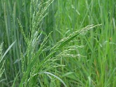 白银牧草种子零售-定西燕麦厂子-定西燕麦价格