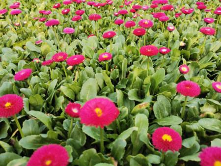 才华馥比仙——雏菊基地,雏菊出售,雏菊价格