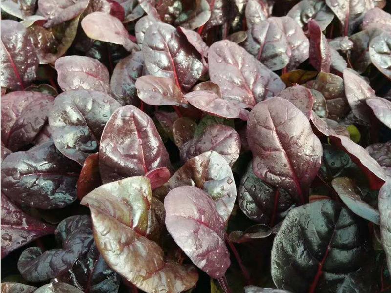 红叶甜菜哪家好,红叶甜菜供应,红叶甜菜供应商