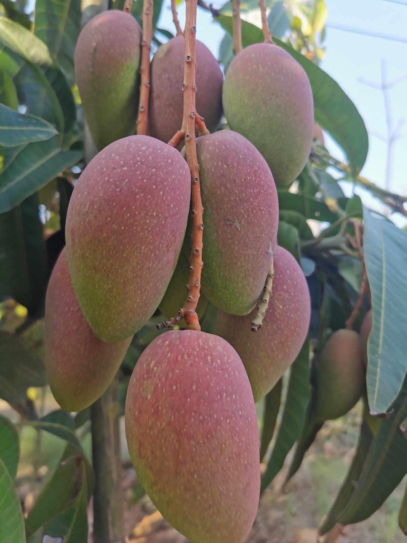 海南热带水果供货-海南省哪里有高性价热带水果供应