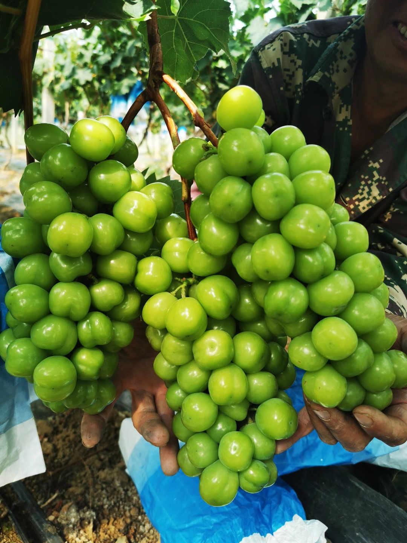 夏黑葡萄产地-价格优惠的黑色甜菜葡萄供销