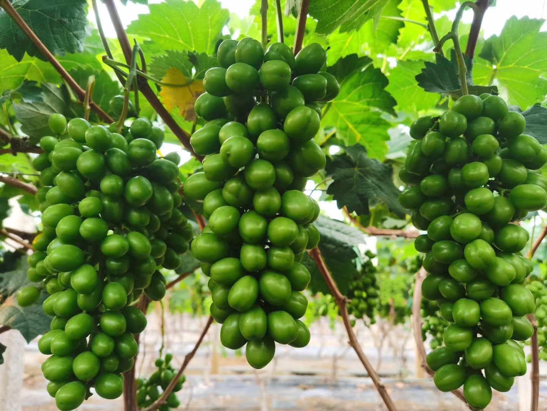 海南的热带水果基地-特色水果供应商-特色水果供货