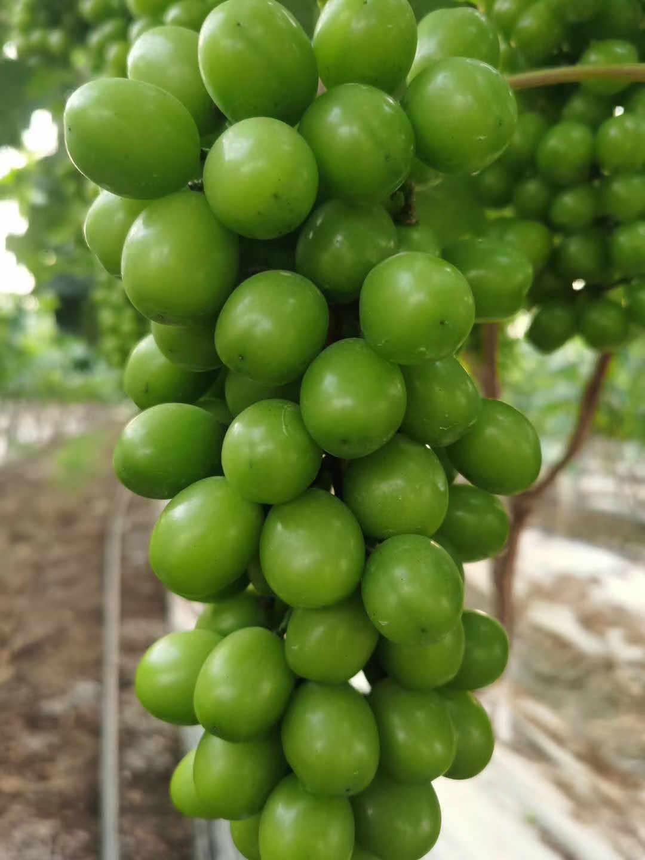 夏黑葡萄供貨商-天津陽光美女葡萄-甘肅陽光美女葡萄