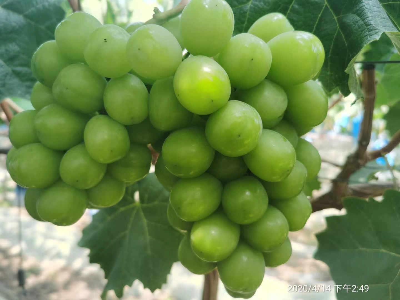 巨峰葡萄產地-山東極高葡萄-上海極高葡萄