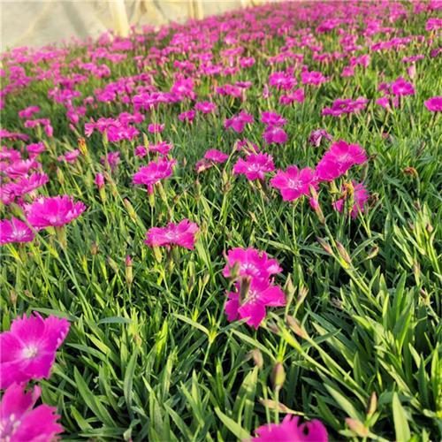 江西绿化专用欧石竹繁殖方法,欧石竹种苗种植基地