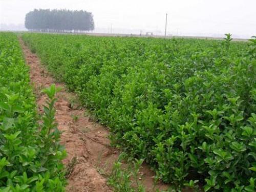 吉林灌木卫矛种植基地