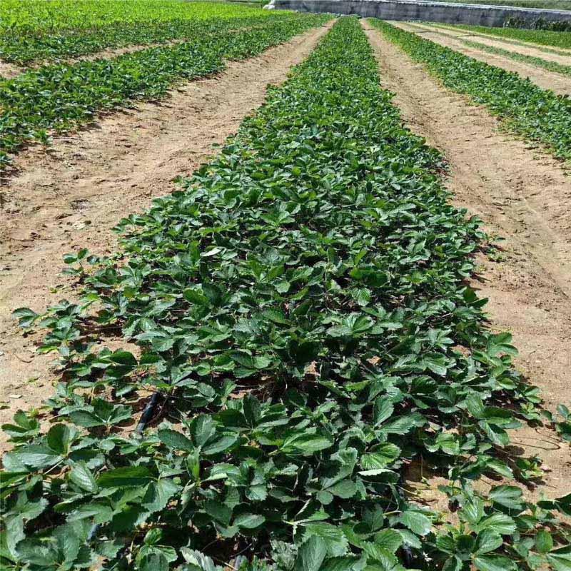 東營甜寶草莓苗基地