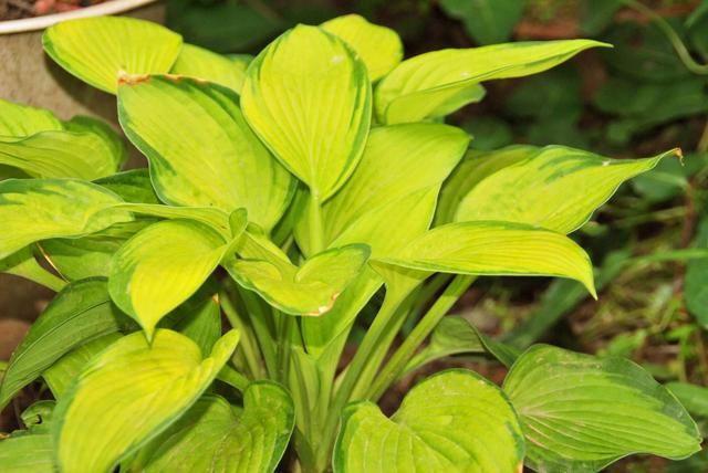 吉林植物玉簪怎么种植