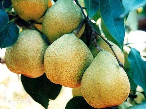 价格优惠的莱阳梨价格范围_上海哪里有实惠的莱阳梨供应