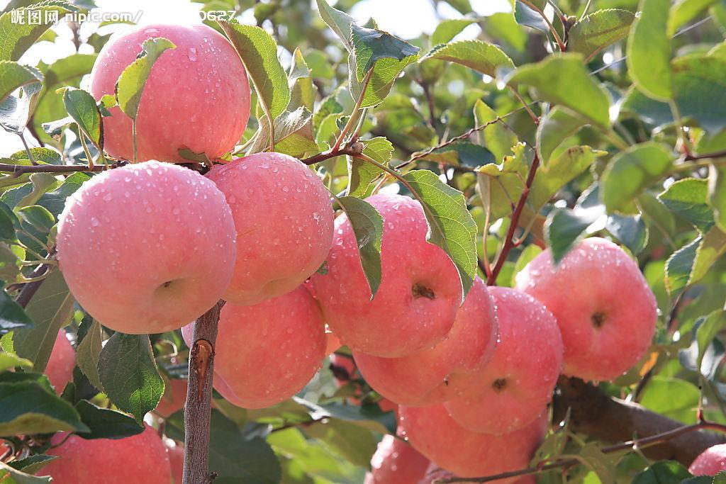 上海知名的紅富士供應商_蘋果哪家好