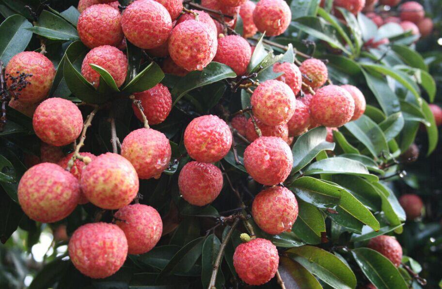 祥麟苹果基地供应报价合理的海南热带水果——三亚热带水果图片