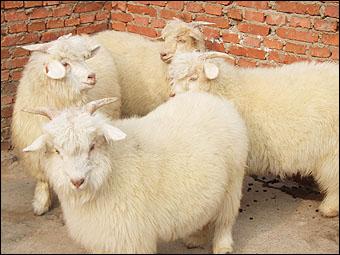 想買品質好的絨山羊市場價格,就到承山絨山羊繁育專業合作社 |遼寧絨山羊