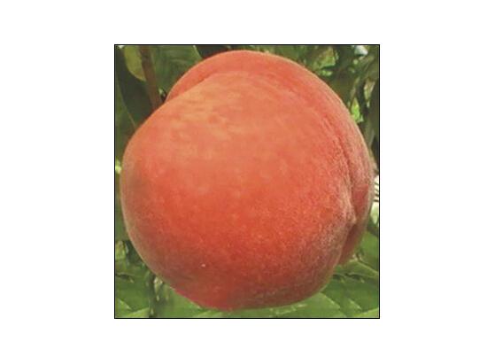 山东哪家桃树苗供应商好——桃品种