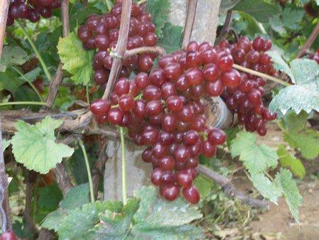 红提葡萄-一边倒果树研究所专业供应葡萄苗
